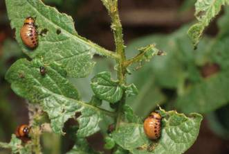 colorado-potato-beetles-3