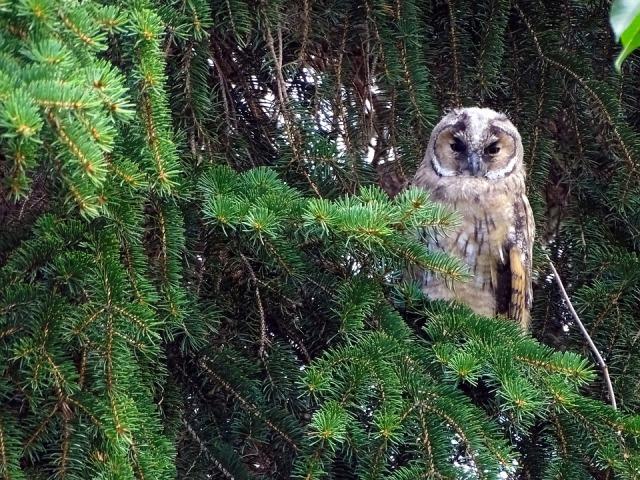 Czech tawny owl