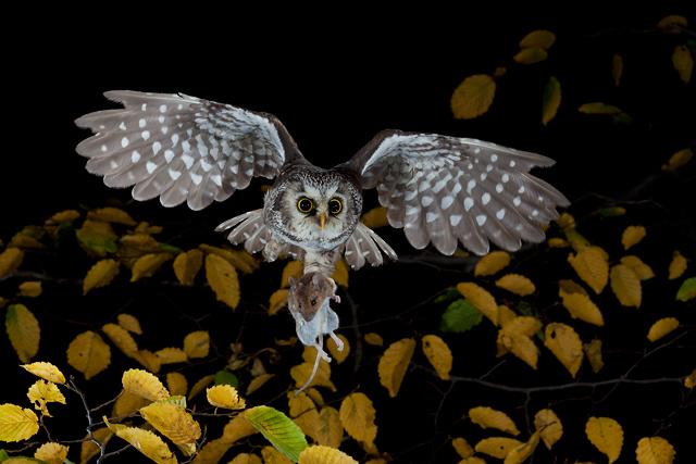 Tengmalm's Owl 1