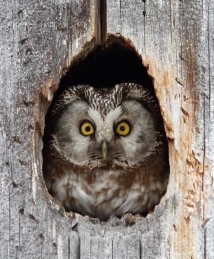 Tengmalm's_owl_(Aegolius_funereus)